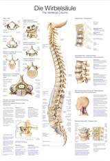 "PLAKAT ""the vertebral column"" 50x70 cm -   AL507"