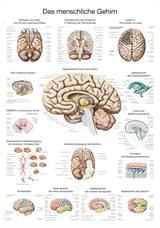 "PLAKAT ""The human brain"" 50x70xcm AL514E"
